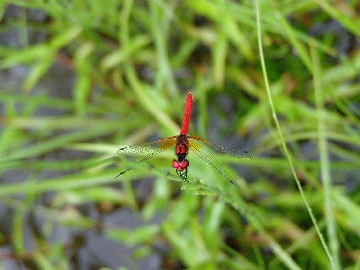 学名 Nannophya Pygmaea RAMBUR  昆虫網 トンボ目 不均翅亜目  トンボ科 ハッチョウトンボ属  八丁蜻蛉