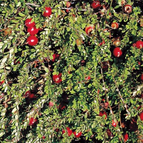 Cranberry Plant Rain GardenCranberriesVegetable GardenSeedsGarden IdeasParksFallEarly