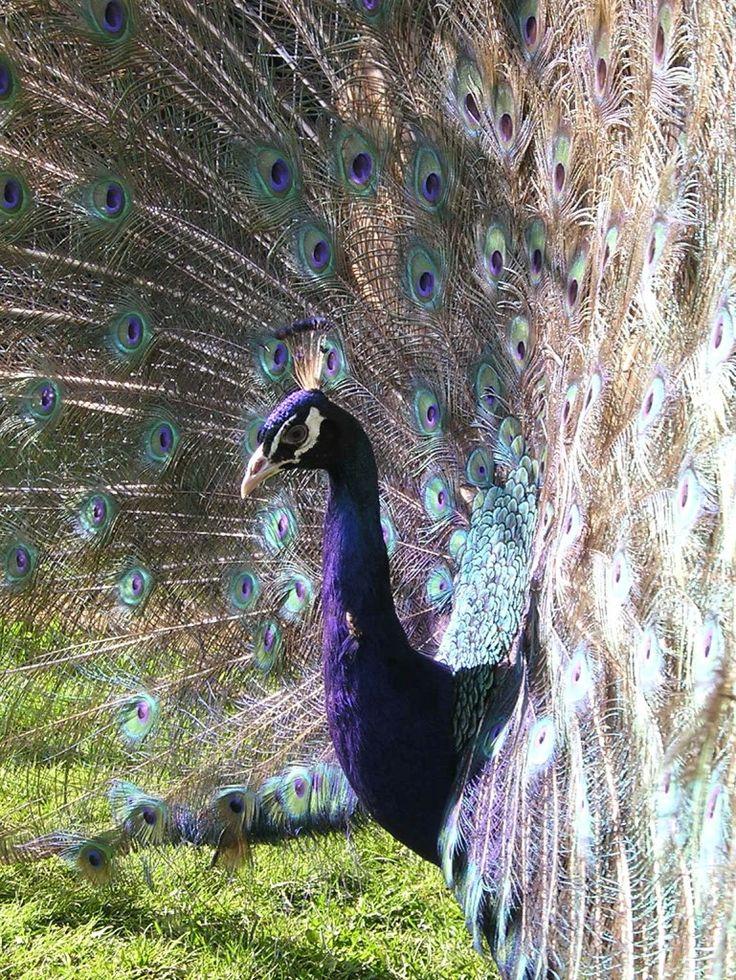 фото фиолетовых павлинов установить рингтон