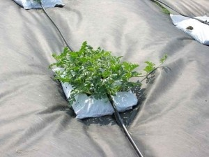An urban garden experiment. Vining plants are planted in bags of organic top soil.