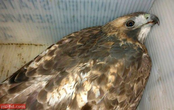 صور طائر الباز معلومات عن طائر باز واسعاره Bird Animals Owl
