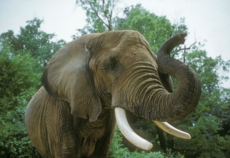 Elephants can swim – they use their trunk to breathe like a snorkel ...Demand that Wildlife Safari stop using bullhooks on elephants! http://www.thepetitionsite.com/694/138/612/demand-that-wildlife-safari-stop-using-bullhooks-on-elephants/
