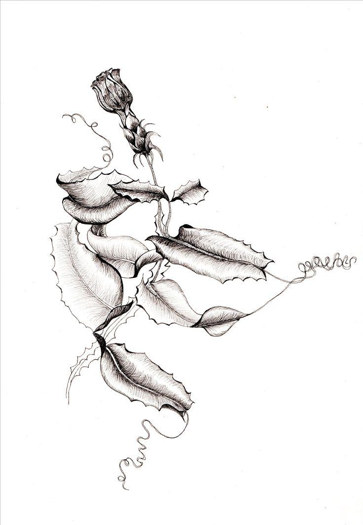 Mutisia brachyantha