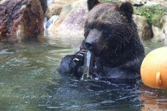 北海道上川郡新得町のサホロリゾートにあるサホロリゾート ベアマウンテン  エゾヒグマたちが自由気ままに暮らすクマたちのパラダイスです ここベアマウンテンはできる限りありのままのクマたちの様子をごく間近に見られる施設 総面積15ヘクタール東京ドーム約3.2個分もの広大な敷地を横断しガラス越しに観察できる遊歩道コースと1.2キロのコースを鉄格子付きのバスに乗って観察しながら進むベアウォッチングバスコースの2つがあります  子どもたちにとっては特に陸上最大のクマは間近に見るとこわいくらいの迫力もありますがそんなクマたちの生活には意外に可愛いしぐさがあったりもしますよ  tags[北海道]