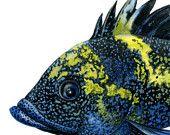 China Rockfish, original gouache painting.