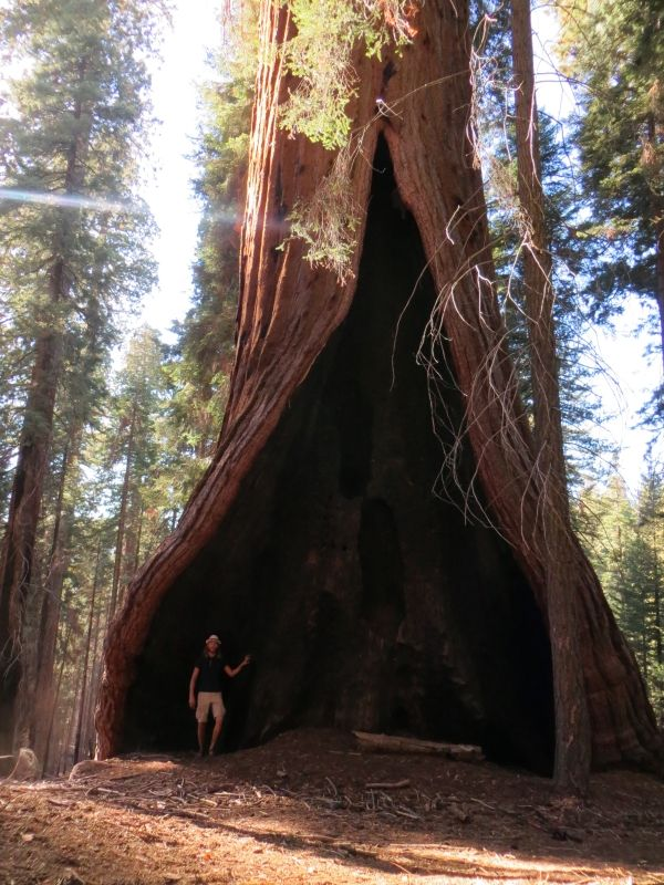 Giant sequoia 'Hart Tree' along the Redwood Mountain Grove ...