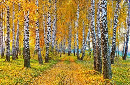 koivu, metsä, puut, metsät, maisema, syksy, keltainen, lehdet, polku, luonto taustakuvia