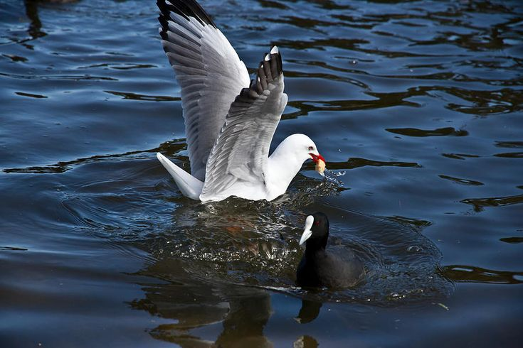 Silver Gull And Australian Coot