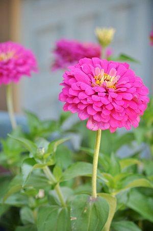 Zinnia flower photo by The Greenery Nursery.