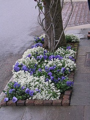 Nice commercial planting in Charleston, SC of pansy and alyssum... lovely!