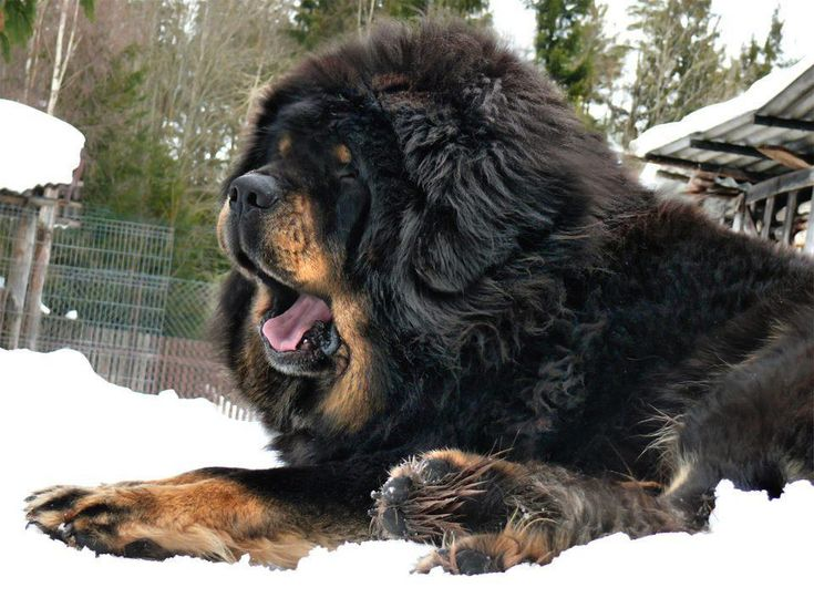 This is Tibetan Mastiff They can grow up to 32 inches... He's considered a primitive breed. It typically retains the hardiness which would be required for it to survive in Tibet and the high-altitude Himalayan range, including the northern part of Nepal, India and Bhutan.