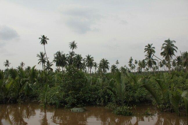 Hamparan kelapa yang mulai meninggi, sebagiannya mulai terendam air pasang.. - Desa Perigi Raja