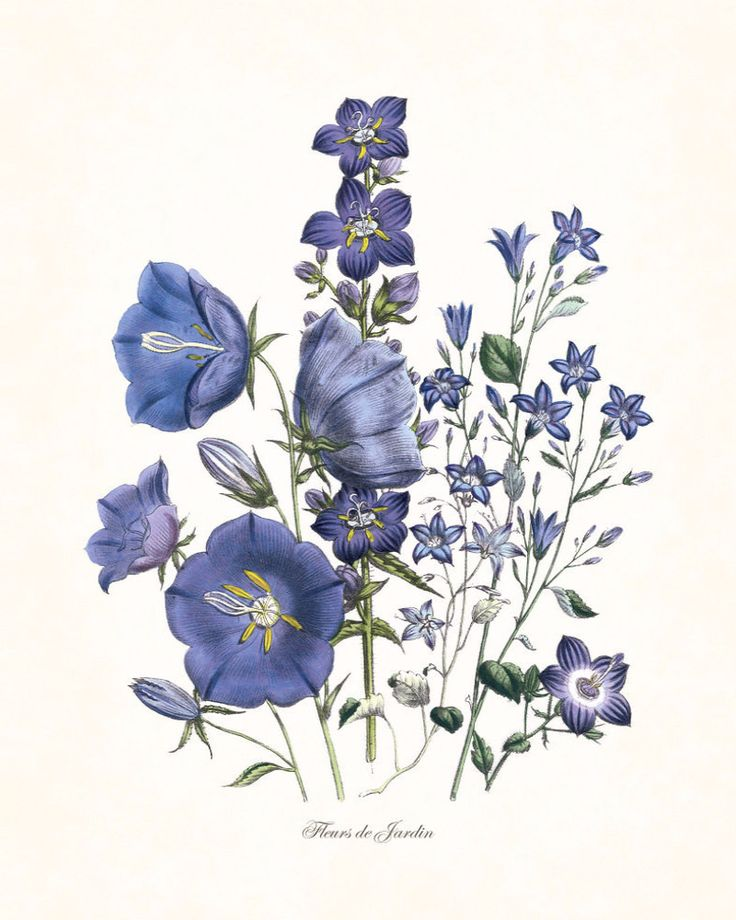 """FLEURS DE JARDIN - """"FLOWERS OF THE GARDEN"""" BLUE SERIES PLATE 6 GICLEE PRINT This print features an antique botanical illustration which has been digitally enhanced and added to a light neutral backgro"""