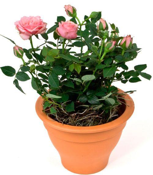 розу из букета в горшочке
