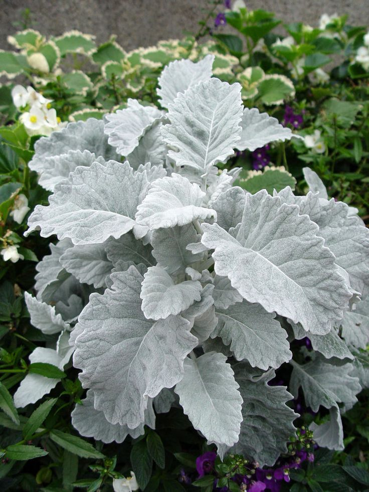 57 best dusty miller in the garden images on pinterest for Home garden plants