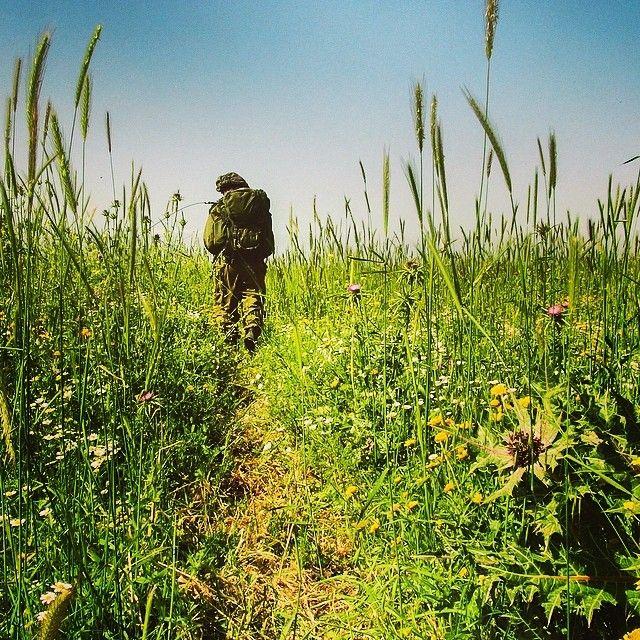 shavuot wheat harvest
