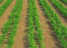 Выращивание моркови, как вырастить хороший урожай из семян (секреты)