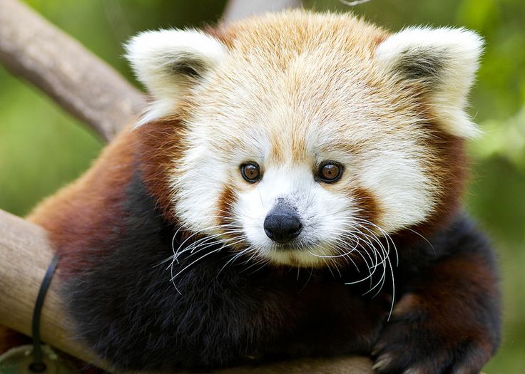 Flynn the red panda is the definition of cute.