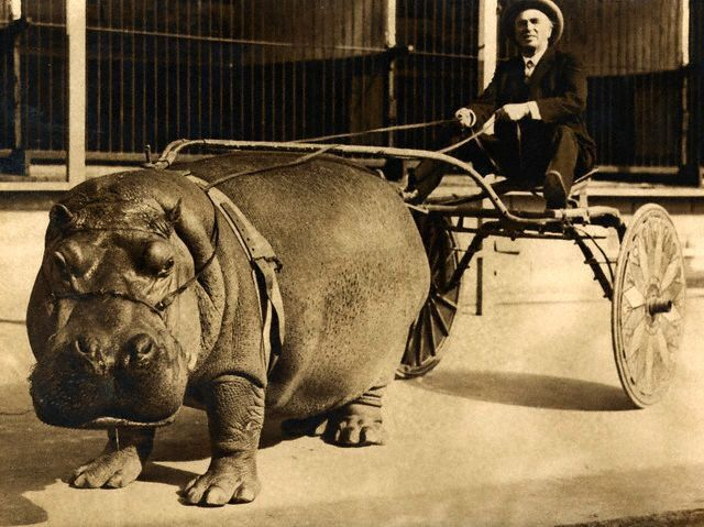 "A circus hippo named Lotus pulling a cart, Los Angeles (1930s) - - -   more  CIRCUS ""HIPPO"" IS HARNESSED AND TRAINED TO DRAW CART (Mar, 1924)   http://blog.modernmechanix.com/circus-hippo-is-harnessed-and-trained-to-draw-cart/"