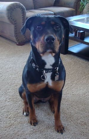 Rottweiler / Pit bull mix (Pitweiler) My two favorite dogs breeds mixed into one beautiful creature. :)