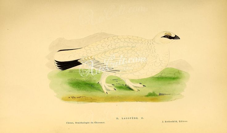 Willow Ptarmigan or Red Grouse      ...