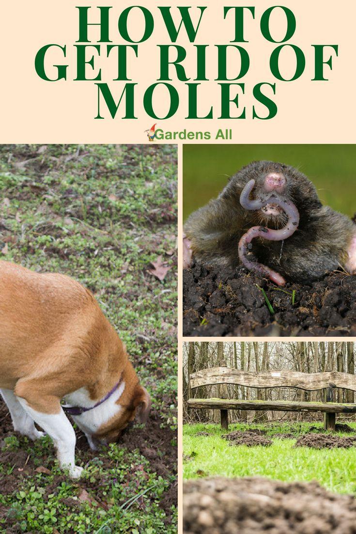 How To Get Rid Of Moles Gardensall Moles In Yard Mole Mole Removal Yard