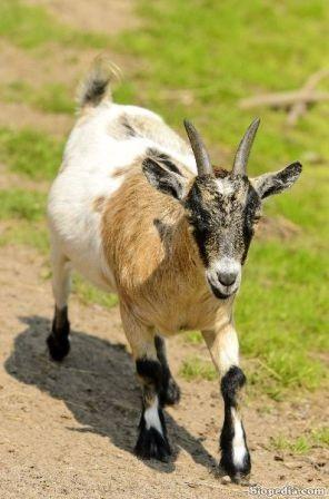 cabra enana