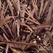 Phormium 'Bronze Baby'  Other names: New Zealand flax 'Bronze Beauty'