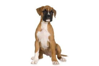 Male Vs. Female Boxer Puppies | eHow