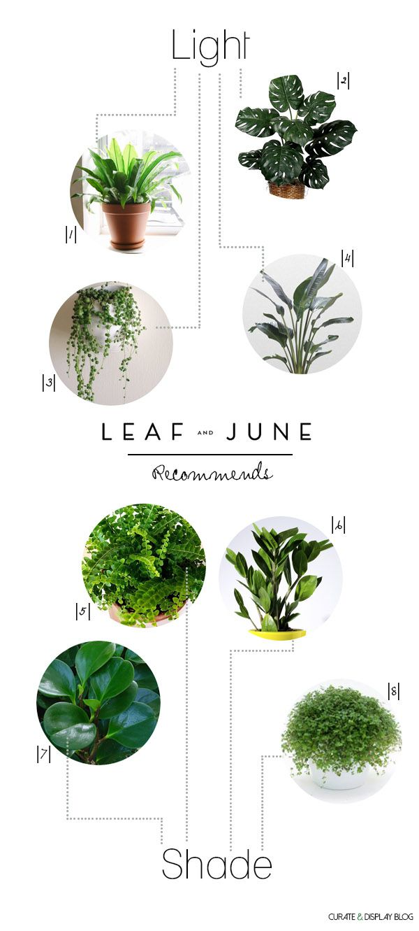 8 Houseplants Leaf and June|1| Bird's Nest Fern (Asplenium indues) |2| Swiss Cheese Plant (Monstera deliciosa*) |3| String of Pearls (Senecio rowleyanus) |4| White Bird of Paradise (Strelitzia reginae) |5| Button Fern (Pellaea rotundifolia) |6| ZZ (Zamioculcas zamifolia) |7| Baby Rubber (Peperomia obtusifolia) |8| Baby's Tears (Soleirolia)