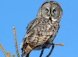 Great Gray Owl - Cornell Ornithology Lab