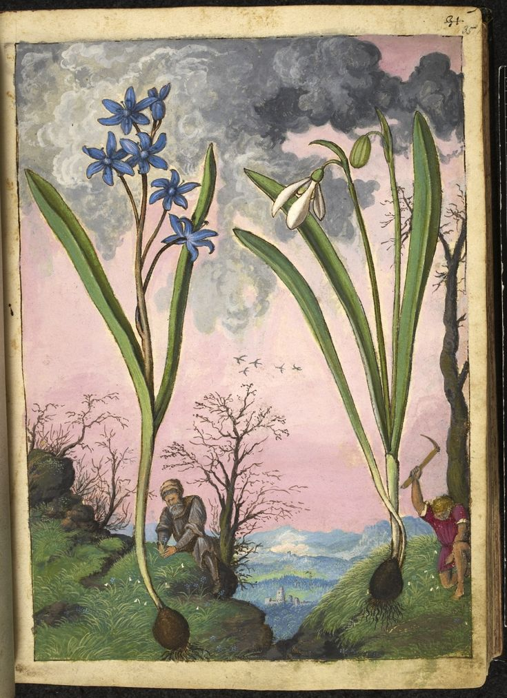 """Full page botanical painting of Galanthus (Snowdrop) on the right and a blue-flowering bulb, probably Ipheion on the left, with a botanist and a young man gathering plants on a mountain top.""  Dioscorides' 'De re medica', by Pietro Andrea Mattioli, Physician of Siena, assembled and illustrated by Gherardo Cibo—ca. 1564-1584."
