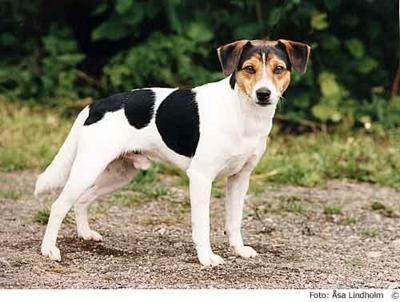 Like the sounds of this one. Danish Swedish Farm Dog.