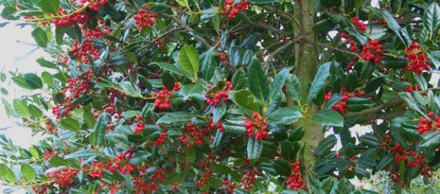 Van den Berk Nurseries | Evergreen trees and shrubs