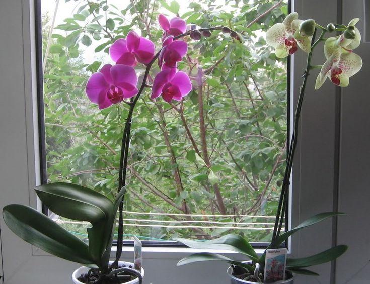 Az orchidea az a virág, amely belopja magát az emberek szívébe, még a férfiak is kedvelik. Az orchidea sokak szerint a virágok királynője és bár[...]