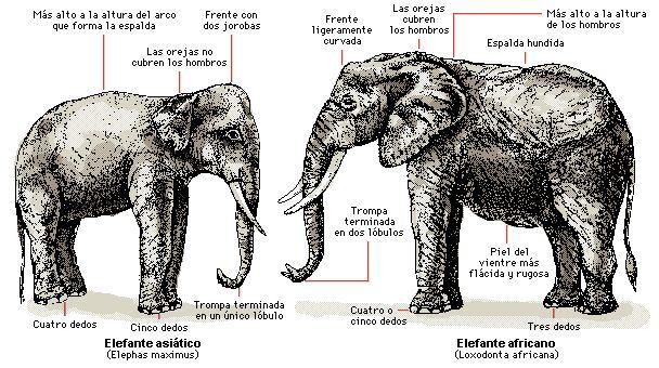 Diferencias entre el elefante asiático y el africano