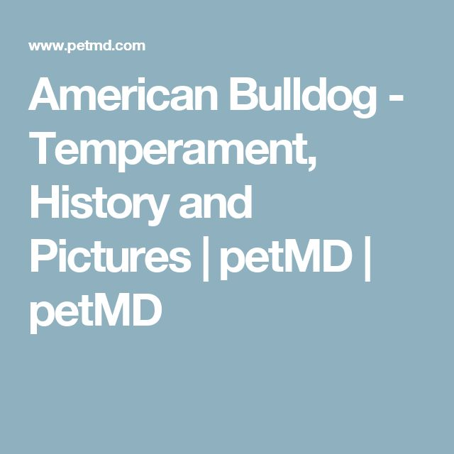 American Bulldog - Temperament, History and Pictures | petMD | petMD