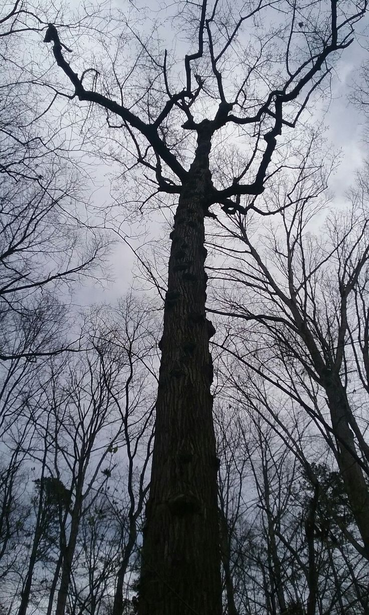 Tall popular tree at nature center