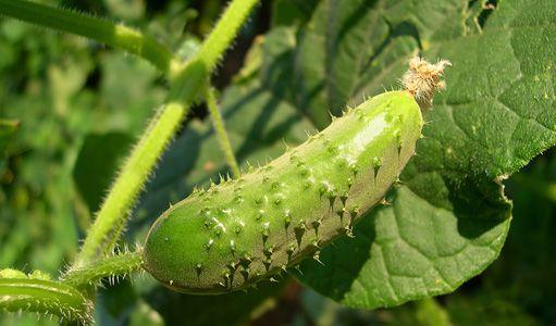 Okurky jsou osvěžující letní zeleninou i pochoutkou po naložení. Jak si zajistit co nejvyšší úrodu šťavnatých plodů a uchránit je proti chorobám, především plísni okurkové?