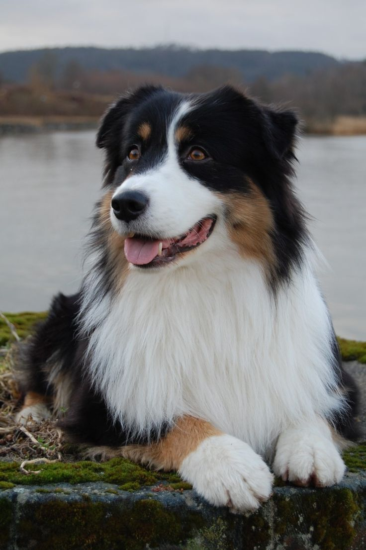 Australian Shepherd..yes im putting these on my dream home board..because every home needs a beautiful dog