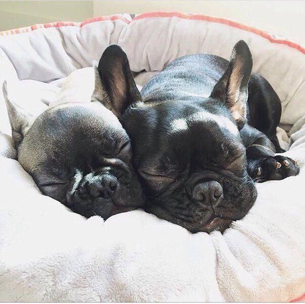 Find Out More On The Friendly French Bulldog Puppy Size