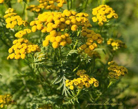 """La tanaisie, vous connaissez ? Cette plante aux nombreuses vertus fleurit en été et c'est le moment de récolter ses fleurs pour garnir votre """"pharmacie"""", car elle aide le jardinier à régler de façon naturelle certains petits problèmes au jardin. La tanaisie,..."""