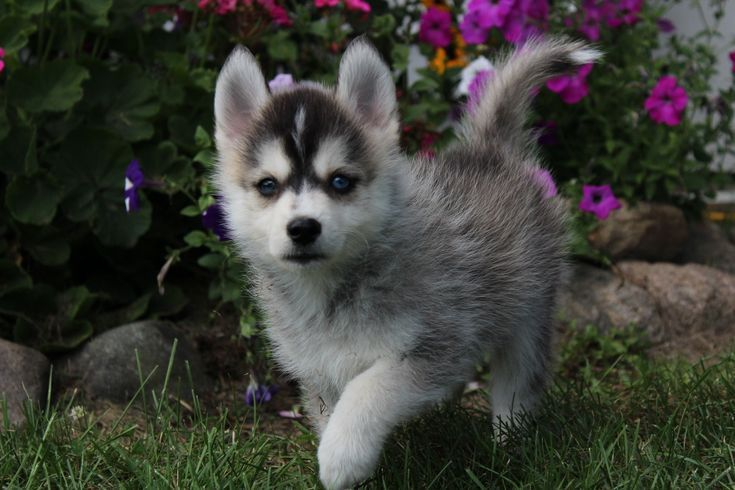 Mack Hello Pals Meet Mack Mack Is A Beautiful First Gen Pomsky Full Of Ener Dogs And Puppies Beautiful Pomsky Puppies Puppies Dog Breeds Medium