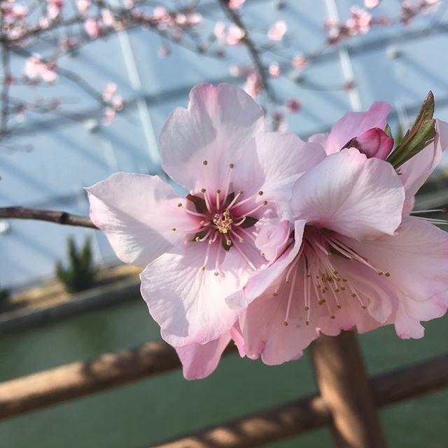 西宮の桜の花はまだまだですが、一足先にアーモンドの花🌸のお花見に。  初めてのアーモンドの花を見ましたがピンク色が鮮やかできれいでした。 お弁当🍱食べてのんびりと。いい時間でした。  愛犬は帰りの車でうとうと…と。  #アーモンドの花#アーモンド#お花見#トイプードル#犬#ドライブ#愛犬