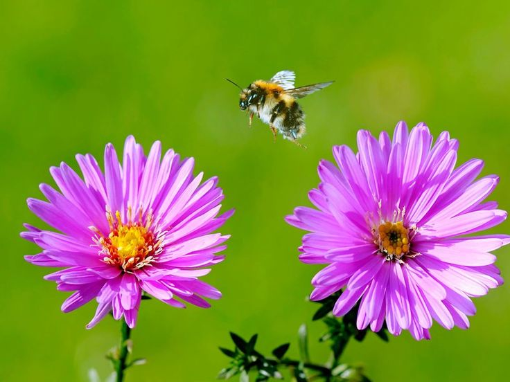 """Bees Can Learn to Play """"Soccer."""" Score One for Insect Intelligence    Small as they are, bumblebee brains are surprisingly capable of mastering novel, complex tasks"""
