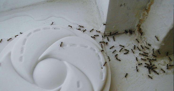 Con este ingrediente que tienes en casa podrás acabar para siempre con las plagas de hormigas