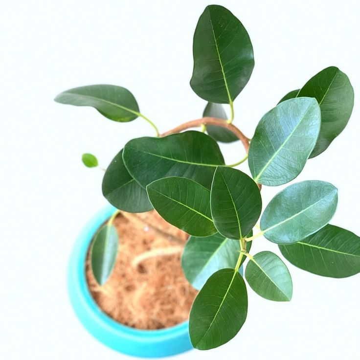 アドニスgはinstagramを利用しています 今日の植物 フランスゴムの木 小ぶりで丸みのある葉っぱが可愛く くねくね曲がった枝ぶりの 曲がり タイプが人気 ゴムの木の花言葉は 永久の幸せ だそうです フランスゴムの木 ゴムの木 フィカス フ Plant Leaves