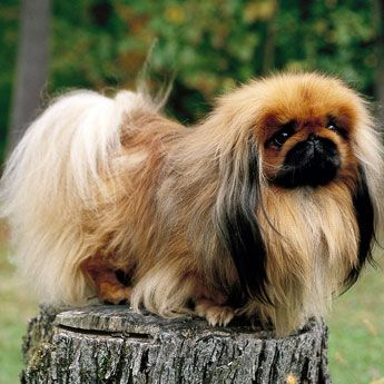 My grandmother used to have a Pekingese named Bino. He ate apples with my grandmother every night while they were watching TV. He also liked to hump a toy dog :p