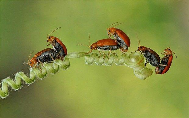 Este grupo de seis escarabajos fue fotografiada mientras que todos apareamiento al mismo tiempo en un vástago en forma de espiral. Fotógrafo aficionado Nordin Seruyan, de Indonesia, capturó la escena del escarabajo de hoja raro como él rompió lejos en insectos en un campo