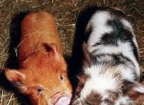 Keelham Farm Shop - Pigs